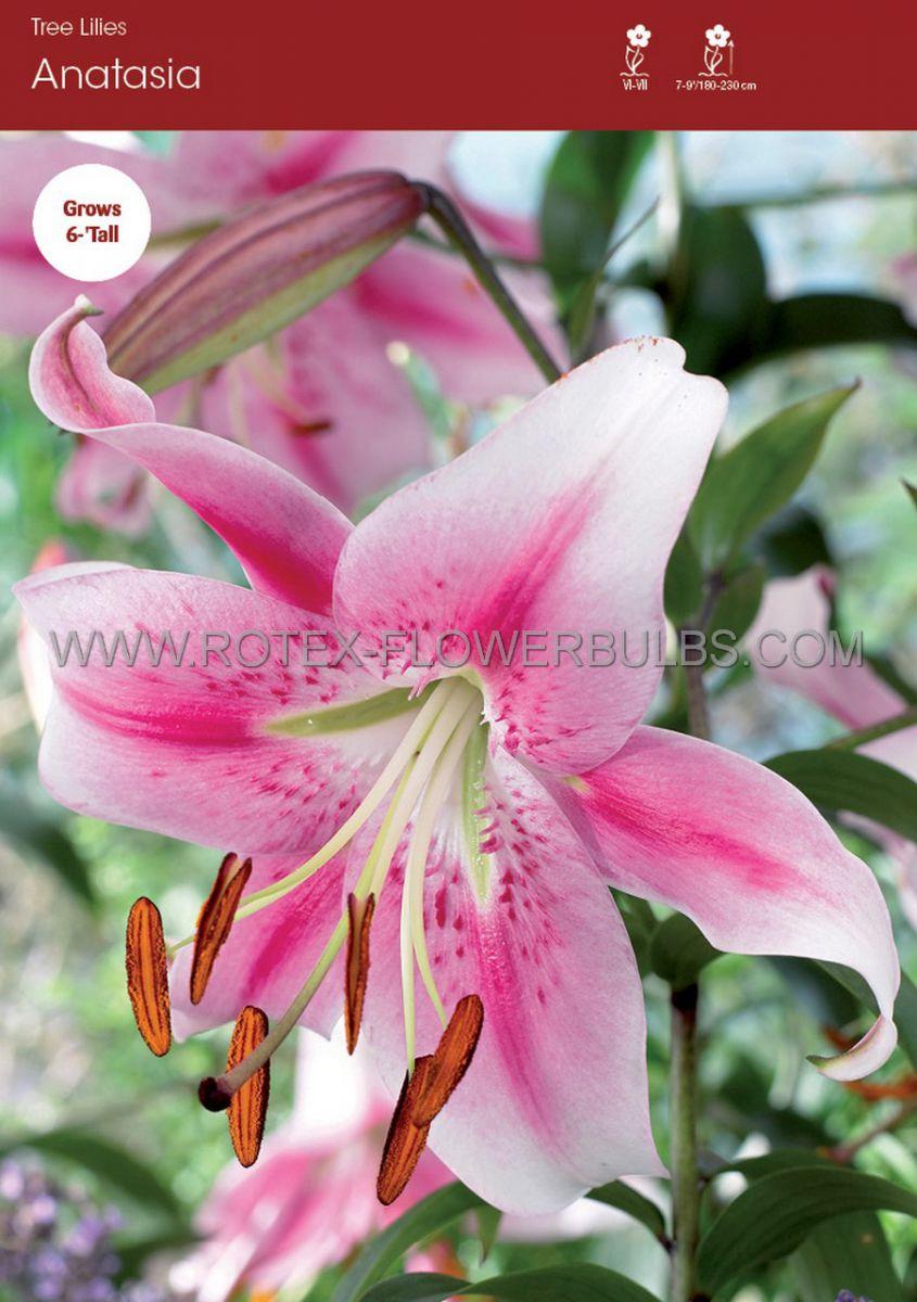 lilium oriental trumpet anastasia 1618 cm 10 pkgsx 2