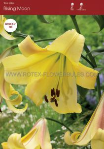 LILIUM ORIENTAL TRUMPET 'RISING MOON' 16/18 CM. (25 P.OPEN TOP BOX)
