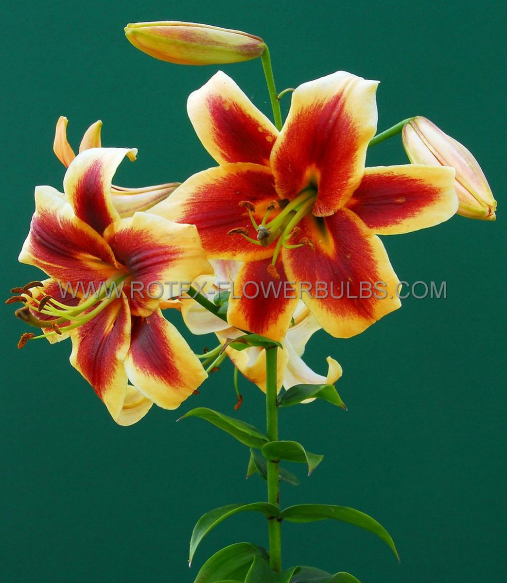 lilium oriental trumpet robert swanson 1618 cm 25 popen top box