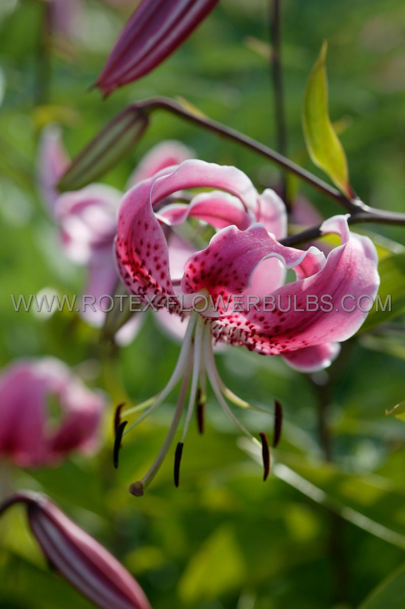 lilium tiger old fashioned rubrum 1618 cm 25 popen top box