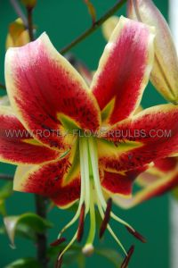 LILIUM TIGER OLD FASHIONED 'SCHEHERAZADE' 16/18 CM. (25 P.OPEN TOP BOX)