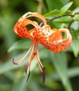 LILIUM TIGER OLD FASHIONED 'TIGRINUM SPLENDENS' 16/18 CM. (25 P.OPEN TOP BOX)