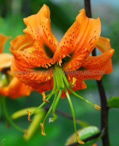 LILIUM TIGER OLD FASHIONED 'TULBAND HENRYI' 16/18 CM. (25 P.OPEN TOP BOX)
