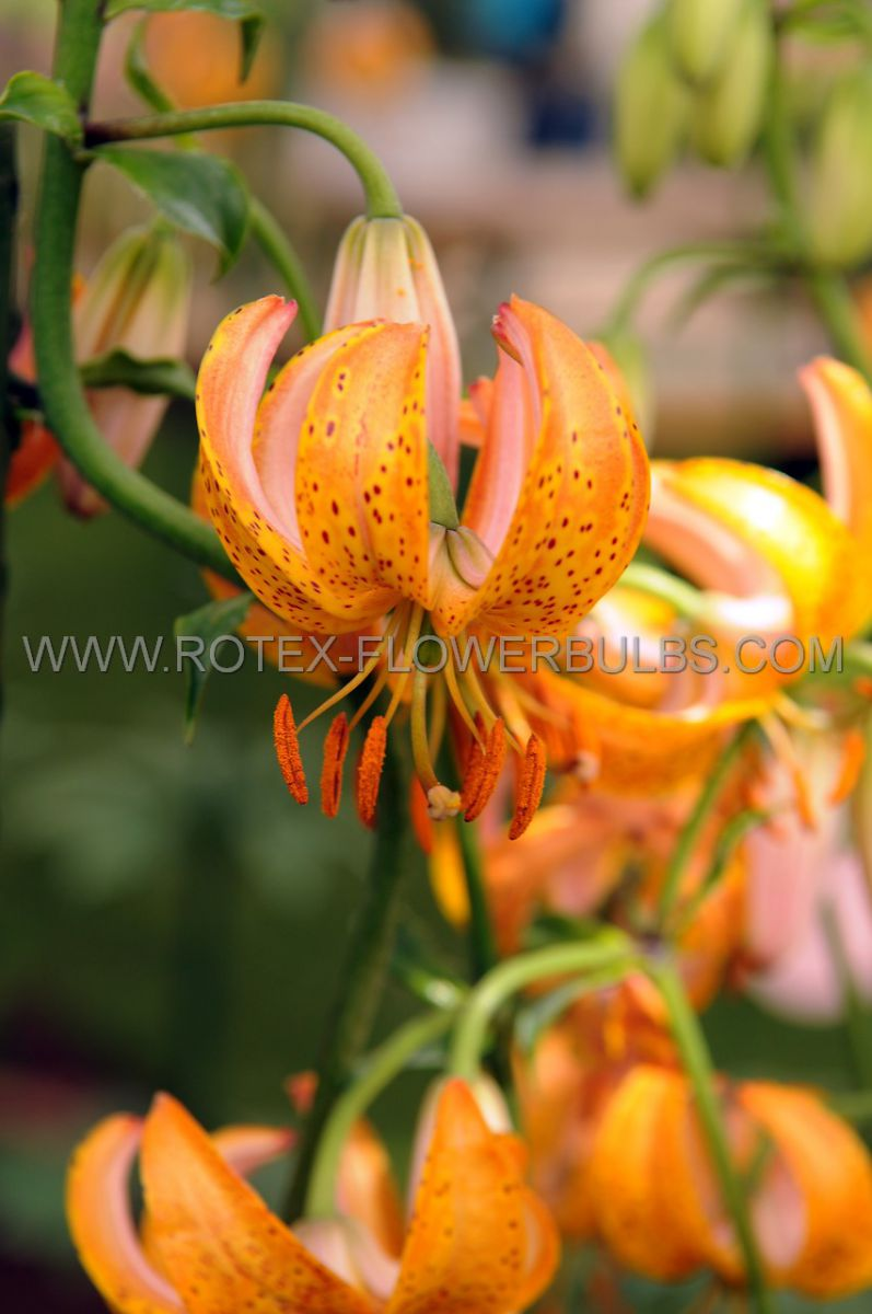 lilium tiger old fashioned tulband henryi 1618 cm 25 popen top box