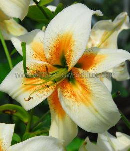 LILIUM TIGER OLD FASHIONED TULBAND 'LADY ALICE' 16/18 CM. (25 P.OPEN TOP BOX)