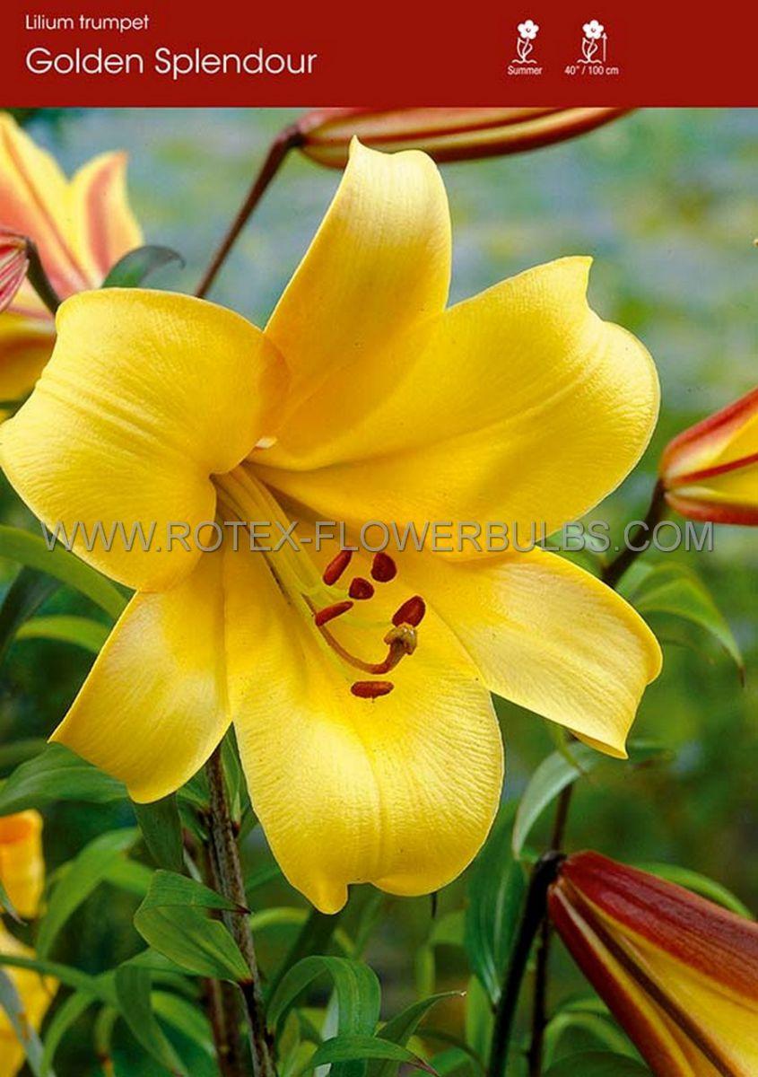 lilium trumpet golden splendour 1416 cm 30 pcarton