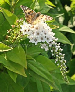 LYSIMACHIA (LOOSESTRIFE) CLETHROIDES I (25 P.BAG)