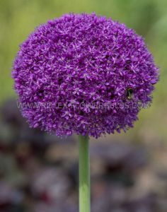 MISCELLANEOUS ALLIUM 'DUTCHMAN' 20/22 CM. (15 PKGS.X 1)