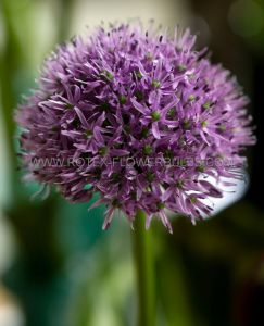 MISCELLANEOUS ALLIUM 'GLADIATOR' 20/22 CM. (15 PKGS.X 1)