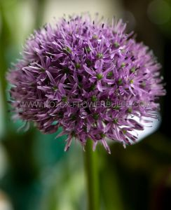 MISCELLANEOUS ALLIUM 'GLADIATOR' 20/+ CM. (15 P.BINBOX)