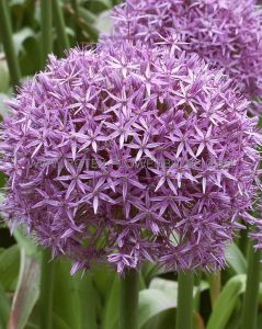 MISCELLANEOUS ALLIUM 'GLOBEMASTER' 20/22 CM. (100 P.WOODEN CRATE)