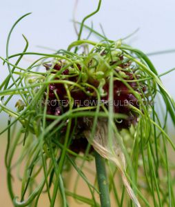 MISCELLANEOUS ALLIUM 'HAIR' 5/6 CM. (100 P.BINBOX)