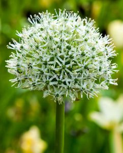 MISCELLANEOUS ALLIUM 'MOUNT EVEREST' 20/+ CM. (15 PKGS.X 1)