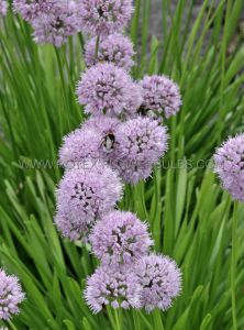 MISCELLANEOUS ALLIUM SENESCENS 'SUMMER BEAUTY' I (25 P.CARTON)