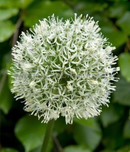MISCELLANEOUS ALLIUM 'WHITE GIANT' 20/22 CM. (15 P.BINBOX)