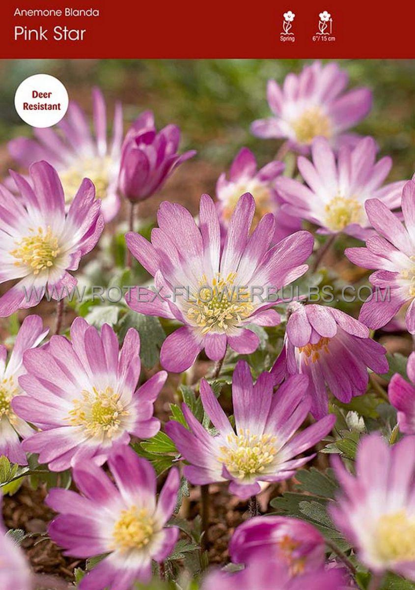 miscellaneous anemone blanda pink star 6 cm 100 pbinbox