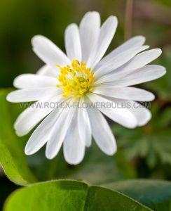 MISCELLANEOUS ANEMONE BLANDA 'WHITE SPLENDOUR' 6/+ CM. (100 P.BINBOX)