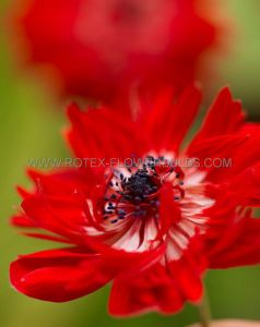 MISCELLANEOUS ANEMONE CORONARIA DOUBLE 'GOVERNOR' 8/9 CM. (100 P.BINBOX)