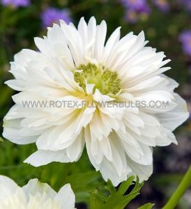 MISCELLANEOUS ANEMONE CORONARIA DOUBLE 'MOUNT EVEREST' 8/9 CM. (100 P.BINBOX)