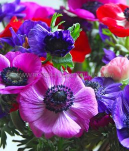 MISCELLANEOUS ANEMONE CORONARIA DOUBLE ST.BRIGID 'MIX' 7/8 CM. (20 PKGS.X 10)