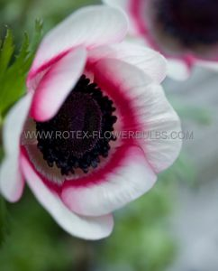 MISCELLANEOUS ANEMONE CORONARIA SINGLE 'BICOLOR' 7/8 CM. (20 PKGS.X 10)