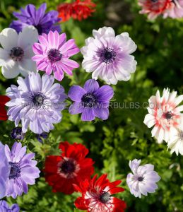 MISCELLANEOUS ANEMONE CORONARIA SINGLE DE CAEN 'MIX' 7/8 CM. (15 PKGS.X 15)