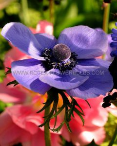 MISCELLANEOUS ANEMONE CORONARIA SINGLE 'MR. FOKKER' 7/8 CM. (20 PKGS.X 10)