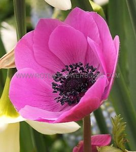 MISCELLANEOUS ANEMONE CORONARIA SINGLE 'SYLPHIDE' 7/8 CM. (20 PKGS.X 10)