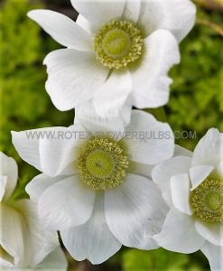 MISCELLANEOUS ANEMONE CORONARIA SINGLE 'THE BRIDE' 8/9 CM. (100 P.BINBOX)