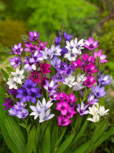 MISCELLANEOUS BABIANA STRICTA 'MIX' 6/8 CM. (15 PKGS.X 5)