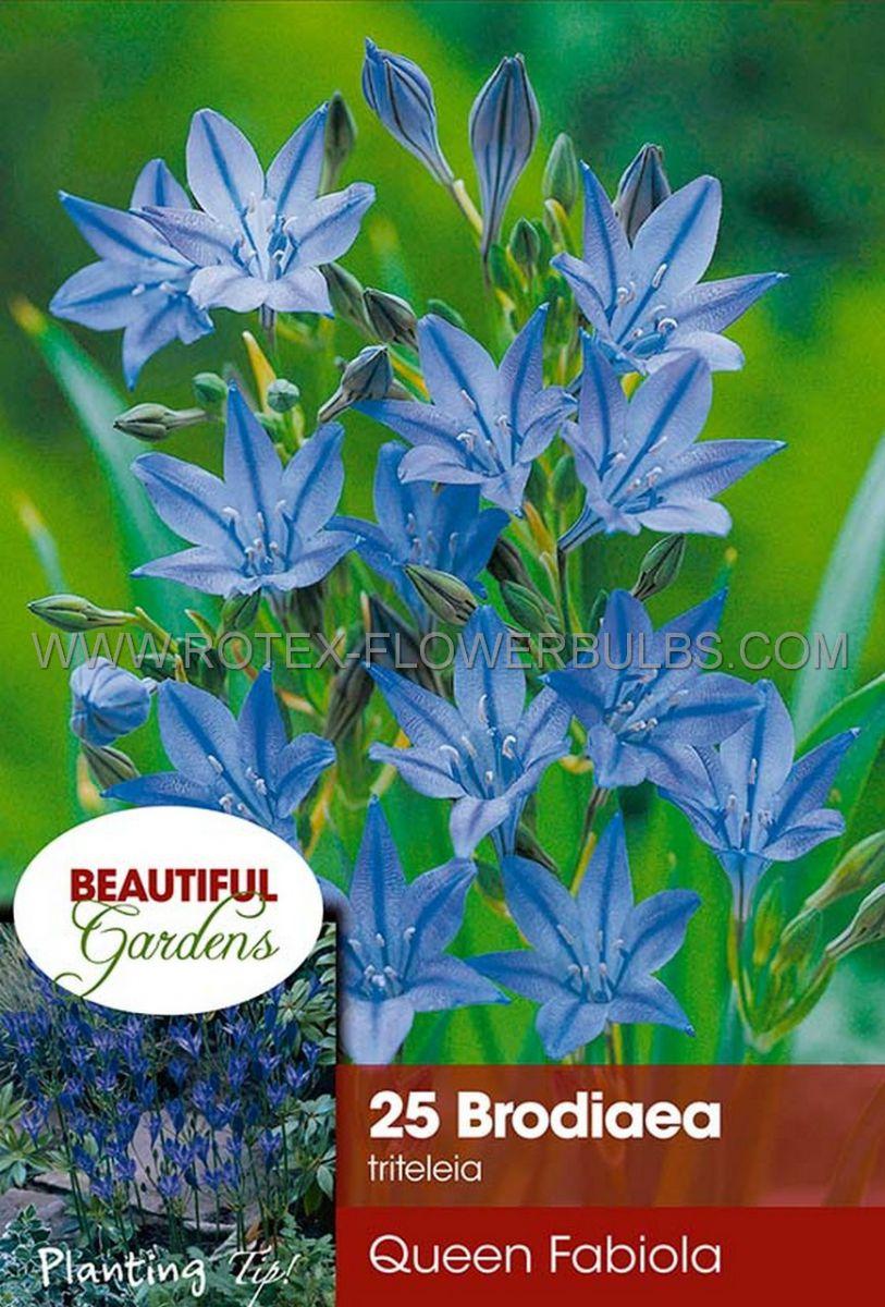 Garden Favourites Pack of 15 Brodiaea Queen Fabiola Spring Flowering Bulbs