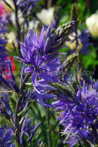 MISCELLANEOUS CAMASSIA 'BLUE MELODY' 6/+ CM. (100 P.BINBOX)