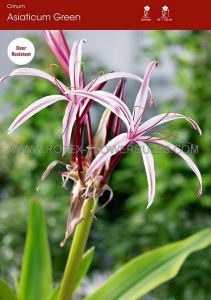 MISCELLANEOUS CRINUM ASIATICUM 'GREEN' 24/+ CM. (10 P.BINBOX)