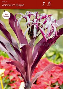 MISCELLANEOUS CRINUM ASIATICUM 'PURPLE' 24/+ CM. (10 P.BINBOX)