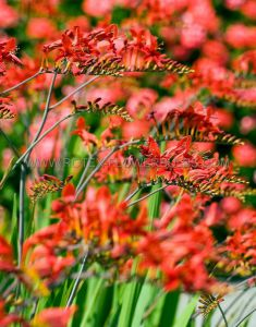 MISCELLANEOUS CROCOSMIA (MONTBRETIA) 'LUCIFER' 8/10 CM. (25 P.CARTON)