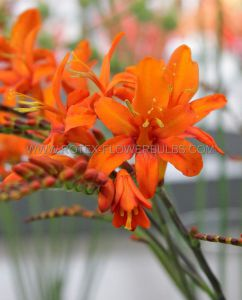 MISCELLANEOUS CROCOSMIA (MONTBRETIA) MASONIORUM 10/+ CM. (20 PKGS.X 5)