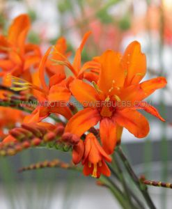MISCELLANEOUS CROCOSMIA (MONTBRETIA) MASONIORUM 8/10 CM. (25 P.CARTON)