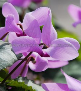 MISCELLANEOUS CYCLAMEN 'NEAPOLITANEUM' 25/30 CM. SUPER SIZE BULBS (30 P.WOODEN CRATE)