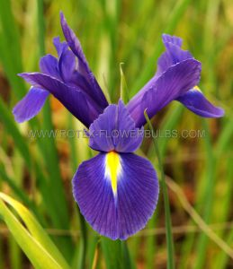 MISCELLANEOUS DUTCH IRIS 'EYE OF THE TIGER' 8/9 CM. (250 P.BINBOX)