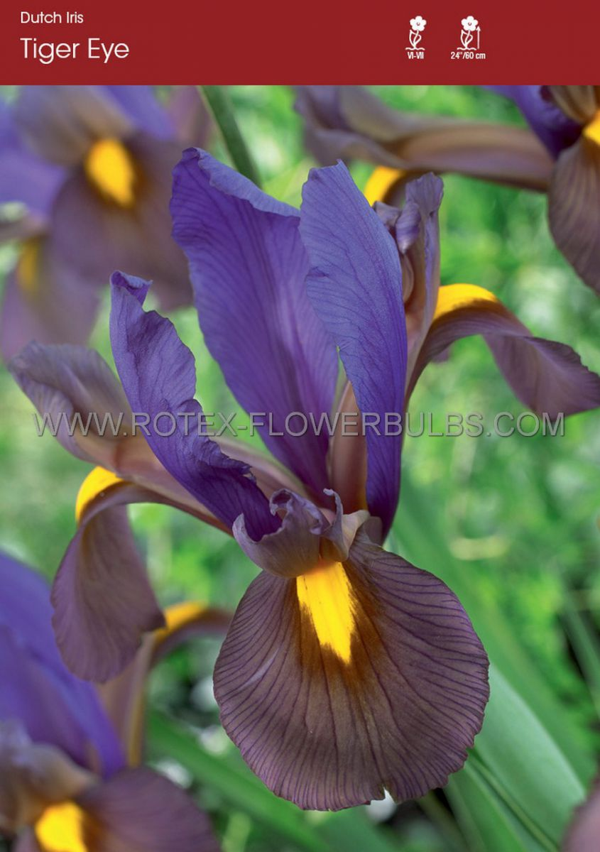 miscellaneous dutch iris eye of the tiger 89 cm 250 pbinbox