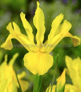 MISCELLANEOUS DUTCH IRIS 'GOLDEN BEAUTY' 8/9 CM. (15 PKGS.X 15)