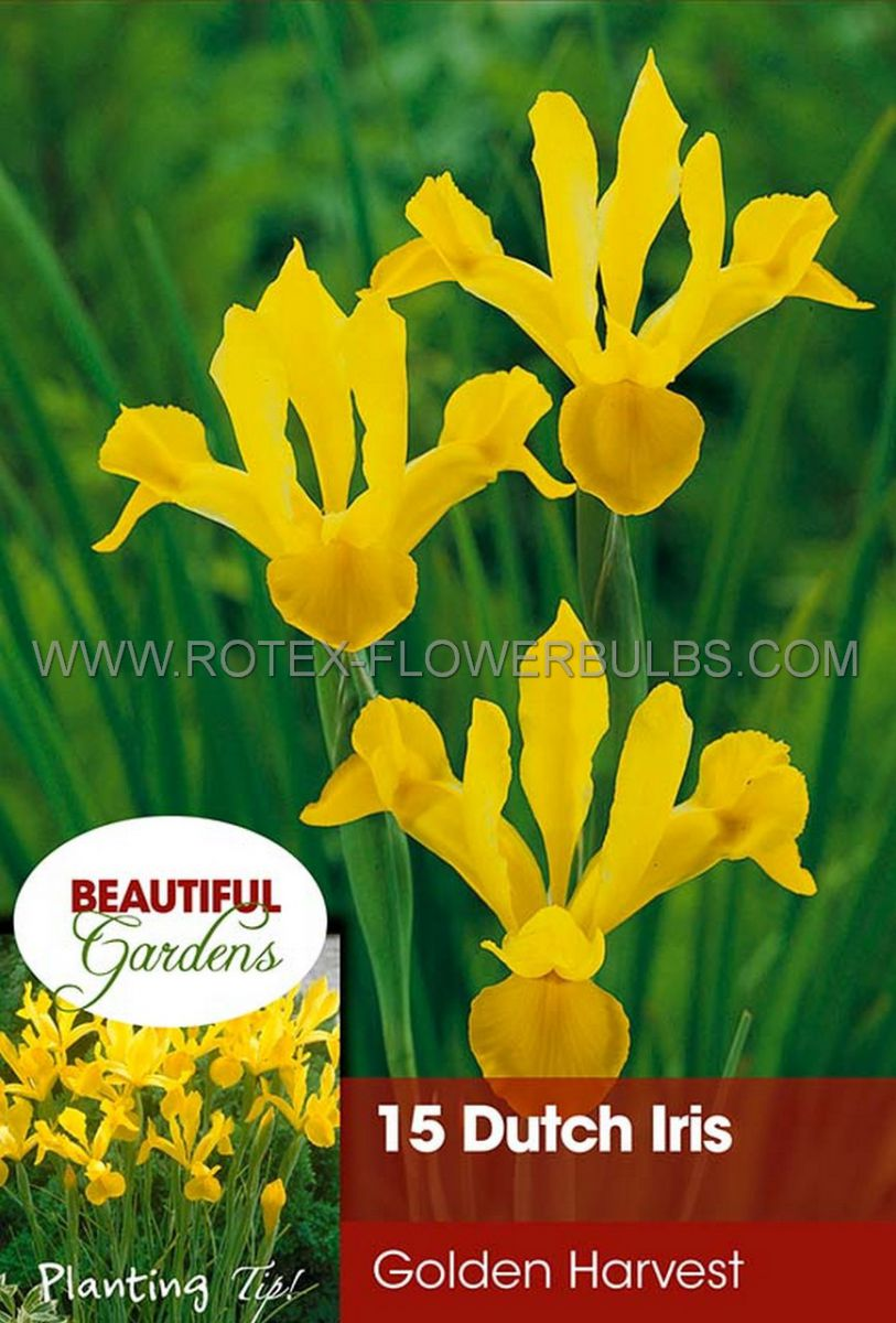 miscellaneous dutch iris golden beauty 89 cm 15 pkgsx 15