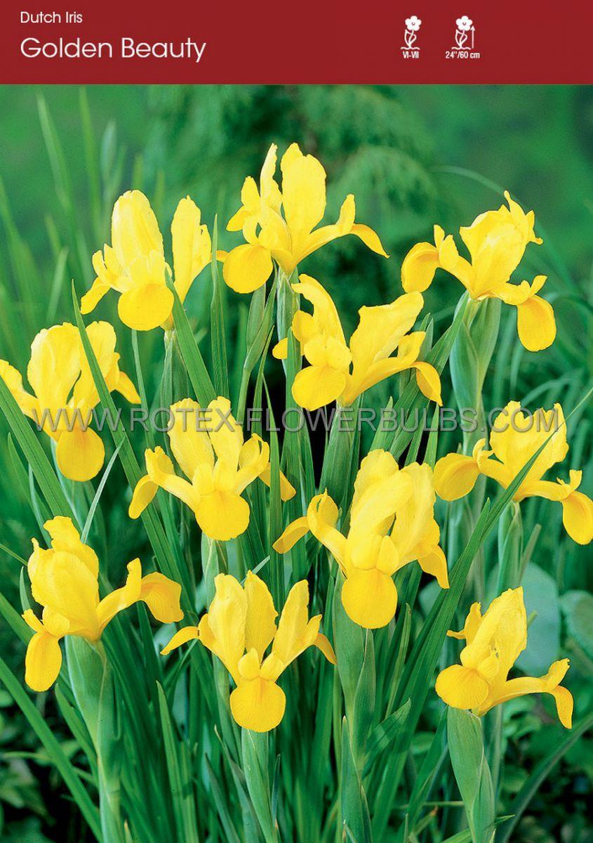 miscellaneous dutch iris golden beauty 89 cm 250 pbinbox