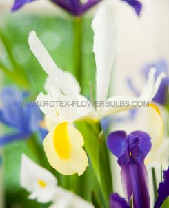 MISCELLANEOUS DUTCH IRIS 'MIX' 8/9 CM. (250 P.BINBOX)