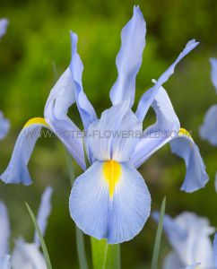 MISCELLANEOUS DUTCH IRIS 'MYSTIC BEAUTY' 8/9 CM. (15 PKGS.X 15)