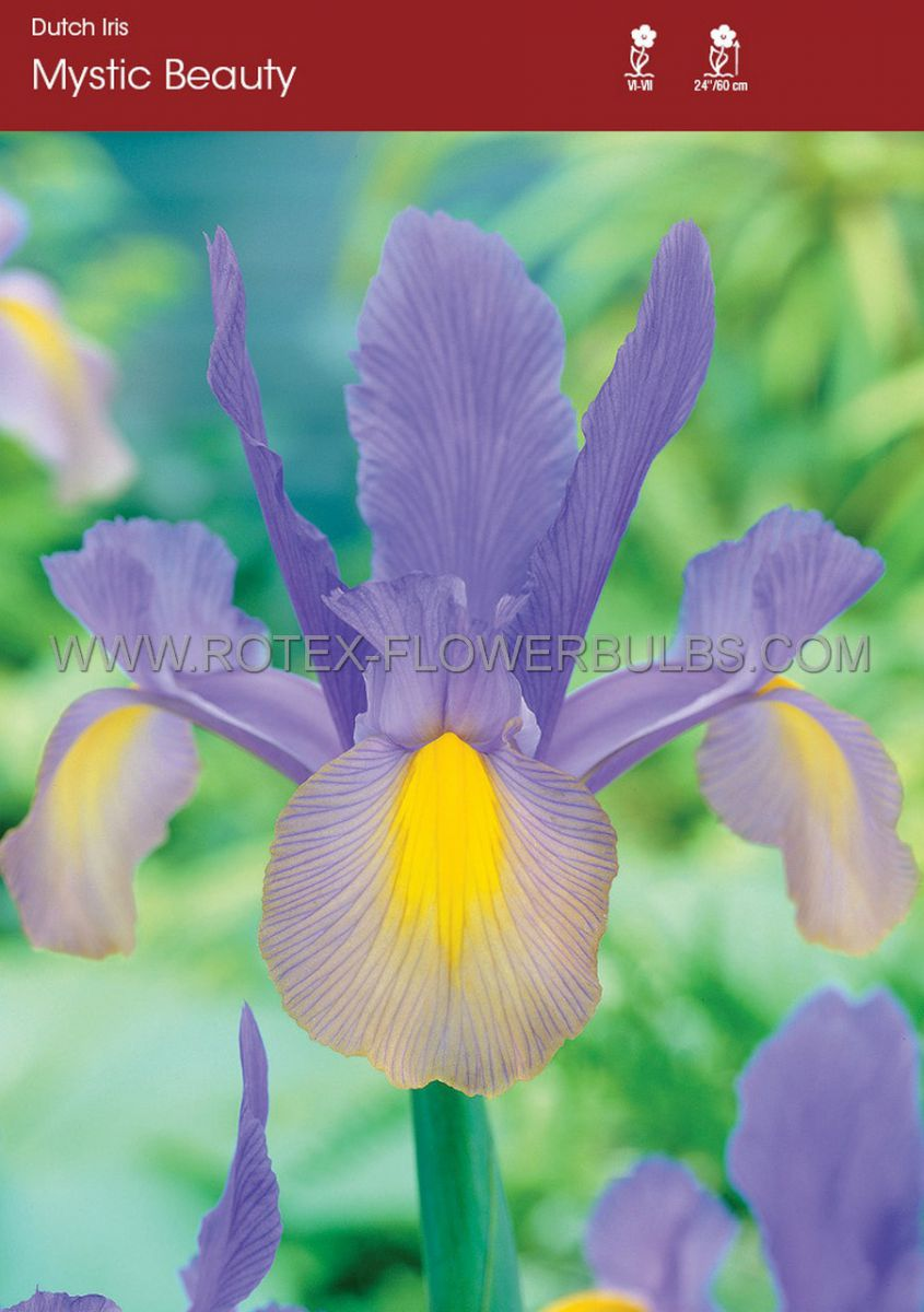 miscellaneous dutch iris mystic beauty 89 cm 250 pbinbox
