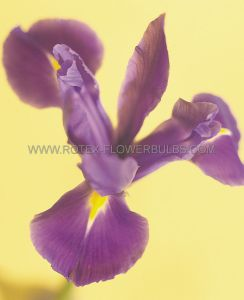 MISCELLANEOUS DUTCH IRIS 'RED EMBER' 8/9 CM. (250 P.BINBOX)