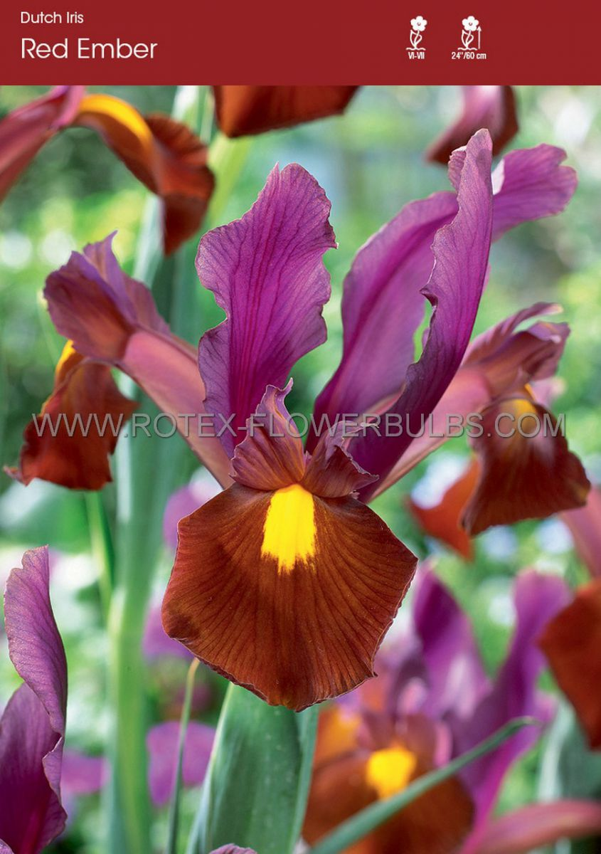 miscellaneous dutch iris red ember 89 cm 250 pbinbox
