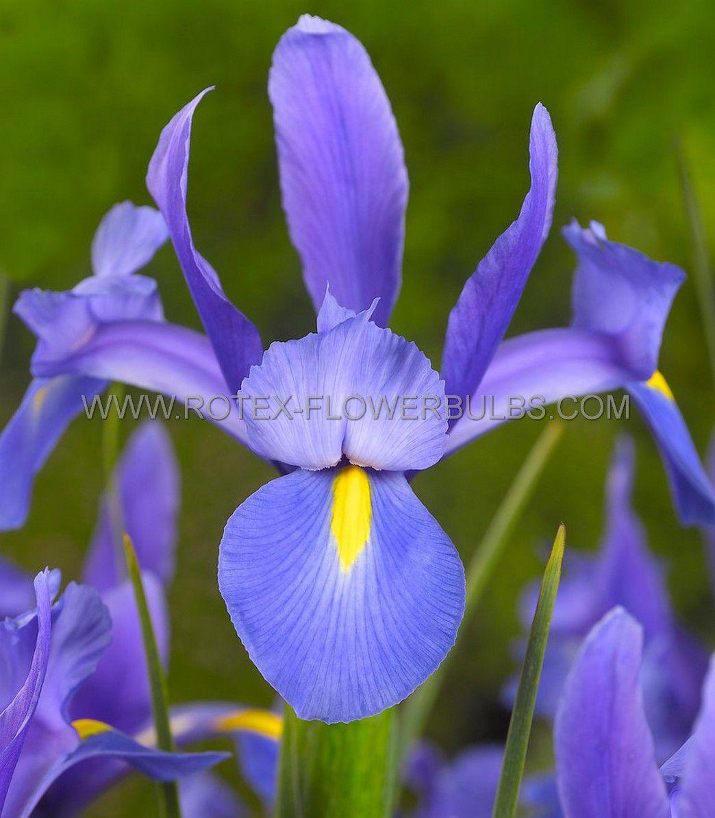 miscellaneous dutch iris sapphire beauty 89 cm 15 pkgsx 15