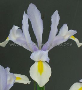 MISCELLANEOUS DUTCH IRIS 'SILVERY BEAUTY' 8/9 CM. (250 P.BINBOX)